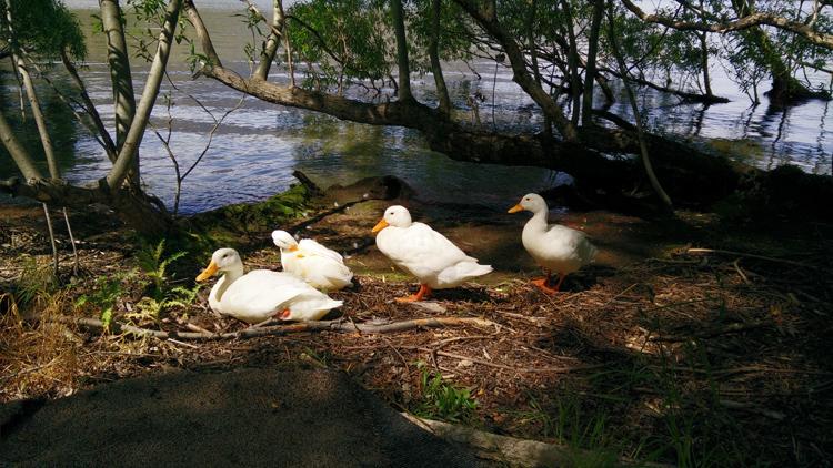 new zealand travel nouvelle zelande middle earth terre du milieu lake hayes ducks